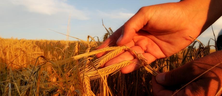Barley.