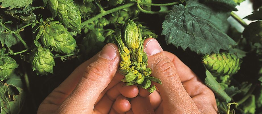 A close-up of hands and hops